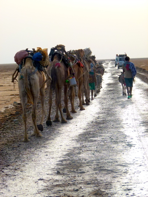 Camel Train on the way to the Salt Lakes - Afar Region Ethiopia - Trans Africa