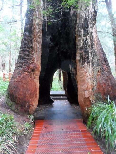 Giant Tree, Walpole, Western Australia - Cycling Across Australia