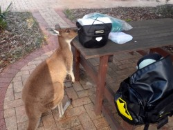Inquisitive Local Kangaroo, Jerramungup, Western Australia - Cycling Across Australia