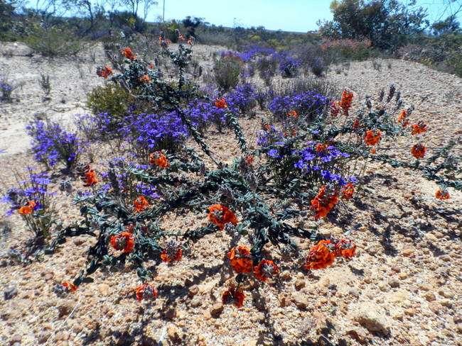Amazing wildflowers, Western Australia - Cycling Across Australia