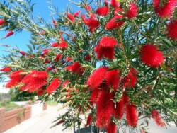 Amazing bottlebrush, Western Australia, Cycling Across Australia