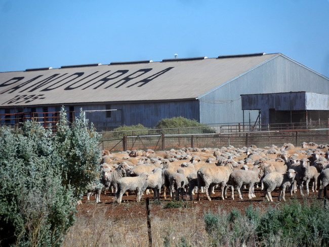 Sheep at Nutbush Retreat - Working Farm, South Australia - Cycling Across Australia