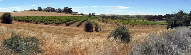 Vineyards in the Clare Valley, South Australia - Cycling Across Australia