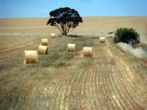 Pastures at Harvest - Clare Valley, South Australia - Cycling Across Australia
