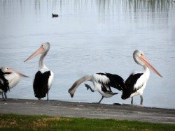 Pelicans on the Foreshore - Meningie,South Australia - Cycling Across Australia