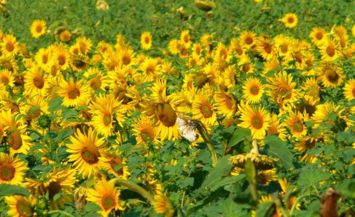 Sunflower fields, Moldavia, Romania