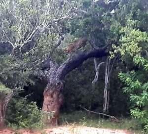 Leopard Yalla