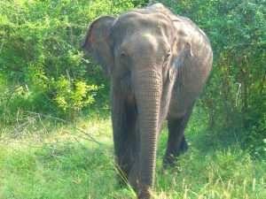 Yalla NP Elephant