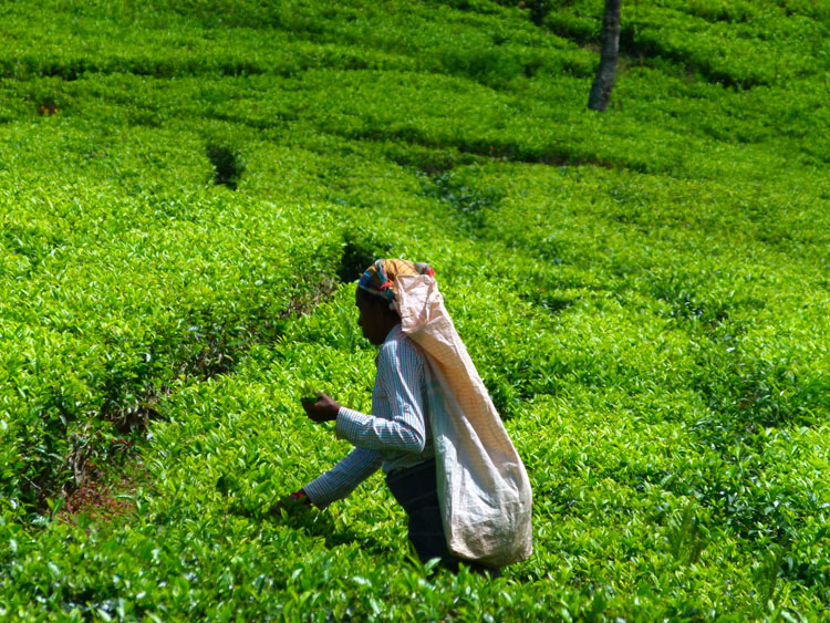 Sril Lanka tea picking